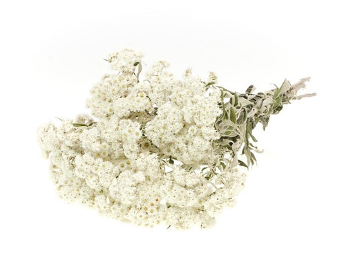 Anaphalis natural white dried