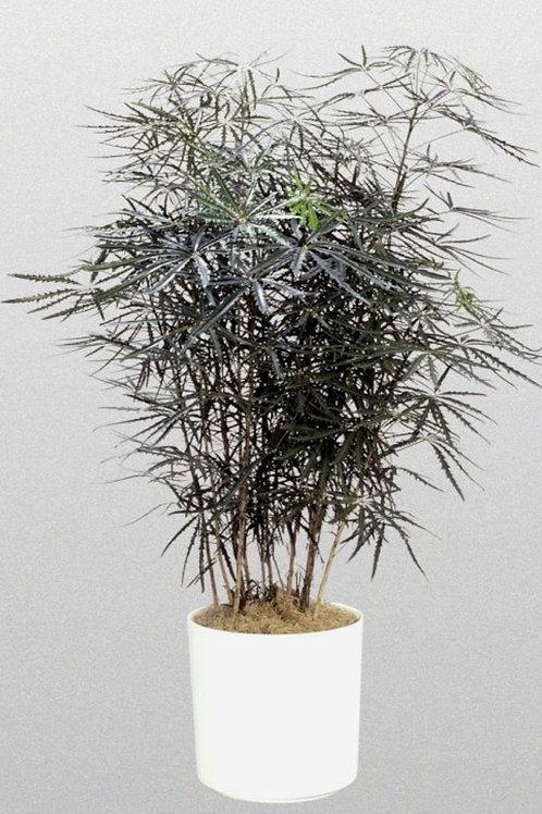 Aralia dizygotheca plant