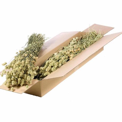 Phalaris natural green dried