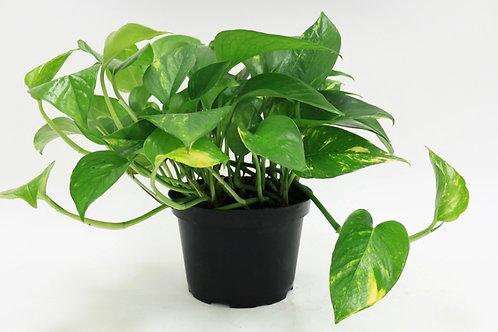 Scindspsus plant