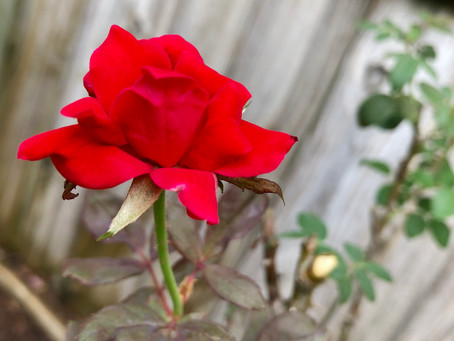A Way With Roses ~ byKerri S Wilson