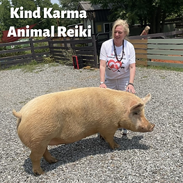 Woman Giving Reiki to a Pig.