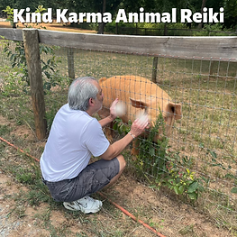 Man Giving Reiki to a Pig .