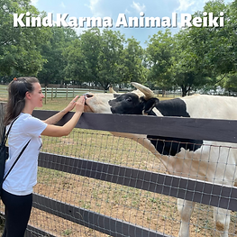 Woman Giving Reiki to a Cow.