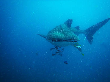 Whale Shark at Twiga reef