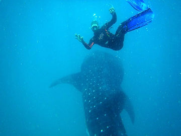 Diver and Whale Shark