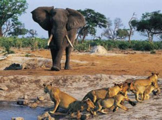 Loins and Elephant in Tsavo East