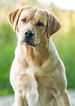 Labrador Emil