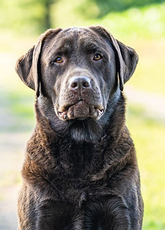 Labrador Ida
