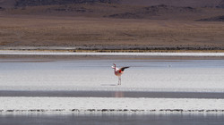 Andino flamingo