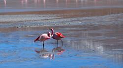 flamingos at Laguna Hedionda