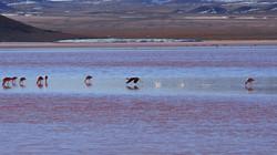 flamingos on Laguna Colorada