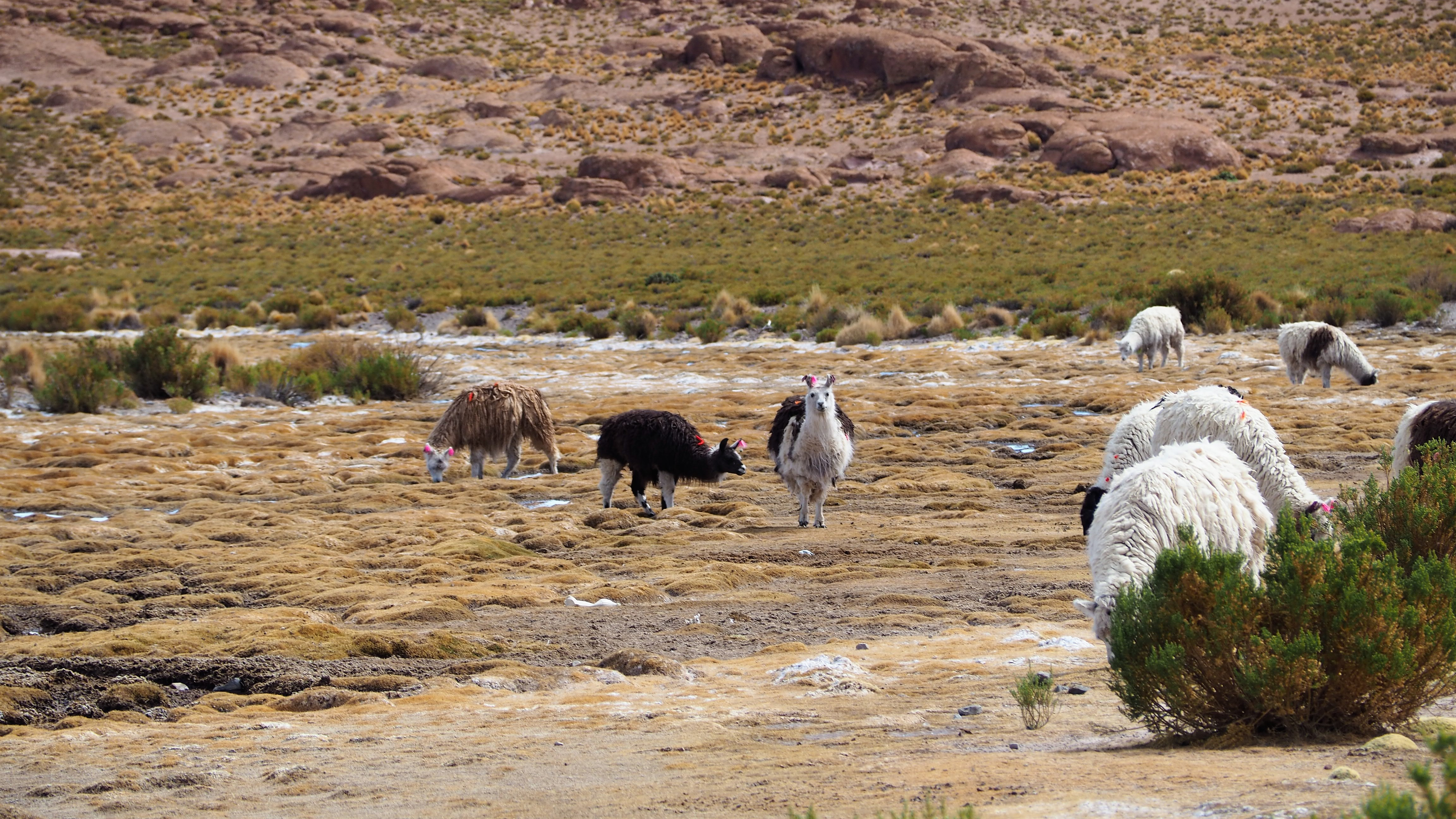 altiplano llamas