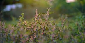 Les bienfaits du Tulsi, plante indienne aux propriétés remarquables dans la maladie comme la santé