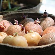 seedpotatoes.jpg