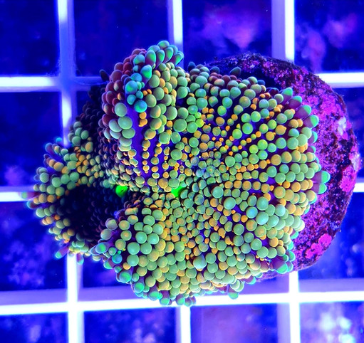 Boutures BSF Corals