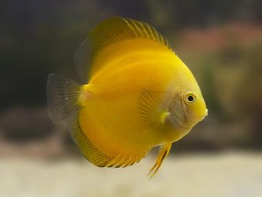 Discus Yellow Marlboro