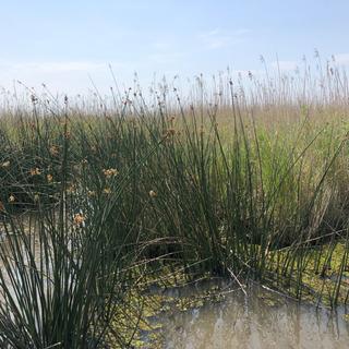 Marsh Grass.PNG