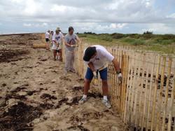 Volunteers installing sand fence along t