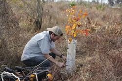 LPBF volunteer planting a Red Swamp Mapl