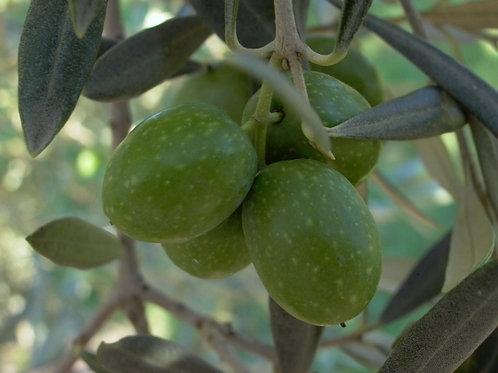 Olive - 2 Gal Pot