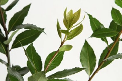 Bay leaf - Laurel leaf - 1 Gal Pot- 1 to 2 Feet Tall