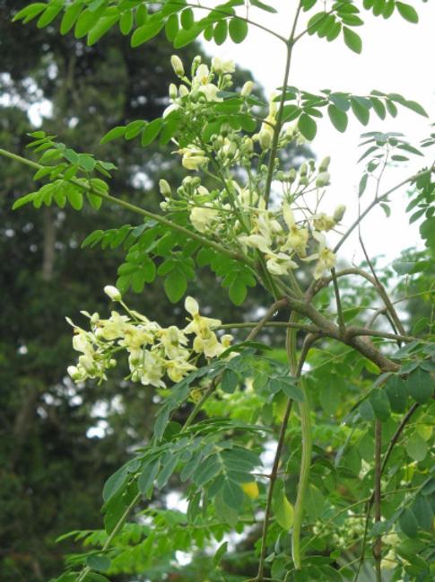 Moringa Tree - 1 Plant - 4 Feet Tall - Big Trunk - 5 Gal Pot