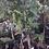 Thumbnail: Sweet Tamarind Trees - Airlayered Tree - 2 to 3 Feet Tall