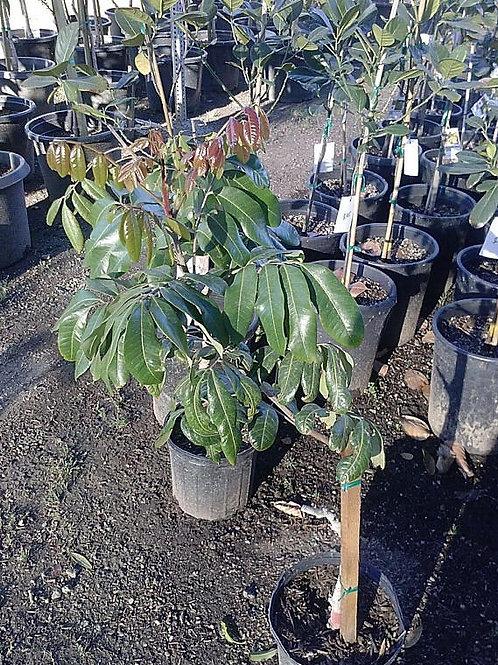 Longan Tropical Fruit Tree - 1 Plant -  7 Gal - 3 Feet Tall - Air layered Tree