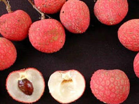 Lychee Tropical Fruit Trees - 2 Feet Tall  - Air layered Tree