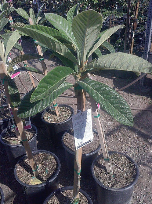 Big Jim Loquat Tree Five Gallon -  3 Feet Tall - 5 Gal