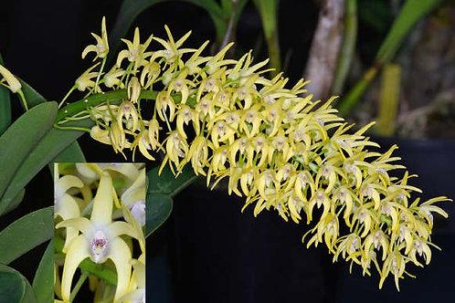 Australia Orchid Dendrobium Specoisum - 20 Gal Pot