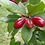 Thumbnail: Miracle Berry Fruit Tree - 1 Plant - 2 to 3 Feet Tall