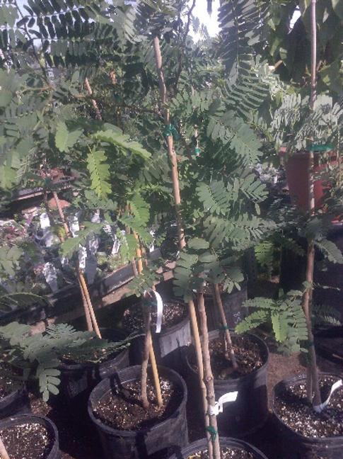 Sweet Tamarind Trees - Airlayered Tree - 2 to 3 Feet Tall