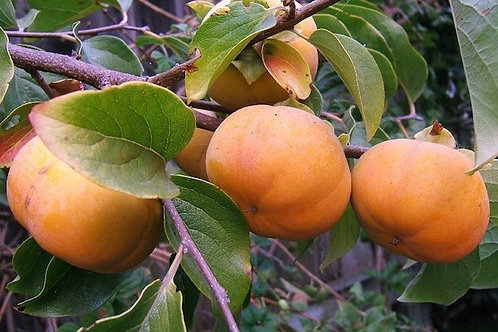 Giant Fuyu Persimmon Tree - 7 Gal