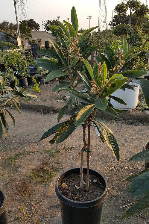 Big Jim Loquat Tree - 15 Gal - Big Trunk - Already Has Flowers/Fruits