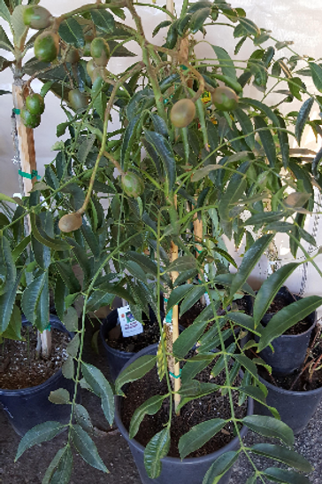 June Plum Tropial Fruit Trees - 1 Plant - 3 Feet Tall - Already Has Flowers/Frui