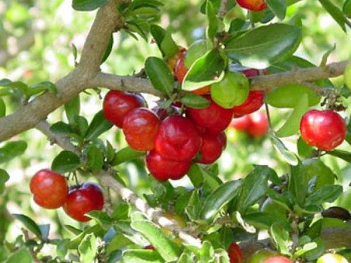 Barbados Cherry (Malpighia glabra)  - 3 Gal - 2 to 3 Feet Tall