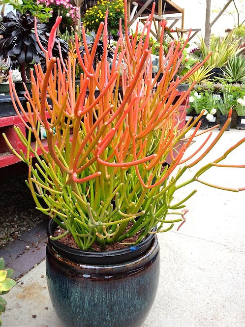 Euphorbia Fire Sticks Succulent - 2 Feet Tall - 5 Gal Pot