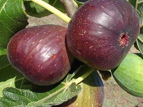Brown Turkey Fig - Ficus carica 'Brown Turkey' - 3 Gal
