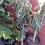 Thumbnail: Avocado - Hass, Zutano, Bacon, Fuerte - Grafted Tree - 3 Feet Tall - 5