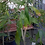 Thumbnail: Rose Apple - Cây Ly  - 5 Feet Tall - Big Trunk