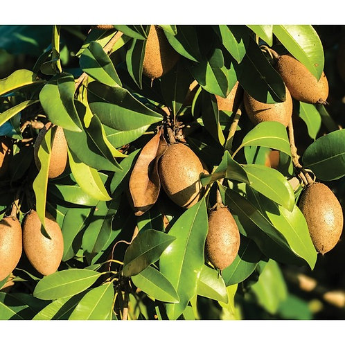 Sapodilla   - 7 Gal -  4 Feet Tall