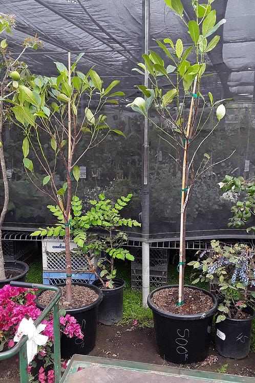 Jak Fruit - 6 to 8 Feet Tall - Big Trunk - 20 Gal Pot