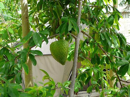 Soursop Tree  - 1 Plants - 7 Gal - 4 Feet Tall