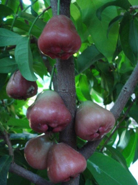Black Perl Wax Apple- 1 Plants - Airlayered Tree - 5 Feet Tall - 15 Gal