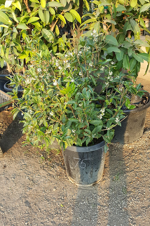 Sweet Olive (Osmanthus Fragrans) - 15 Gal - Lot Of Flowers