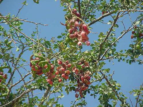 Guamuchil -Pithecellobium dulce - 5 Gal - 5 Feet Tall