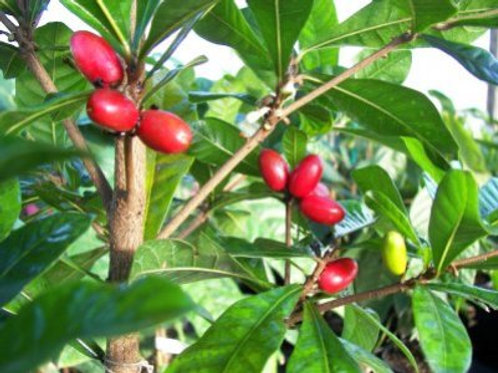 Miracle Fruit Tree - 2 Feet Tall - 3 Gal