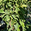 Thumbnail: Black Perl Wax Apple- 1 Plants - Airlayered Tree - 5 Feet Tall - 15 Gal